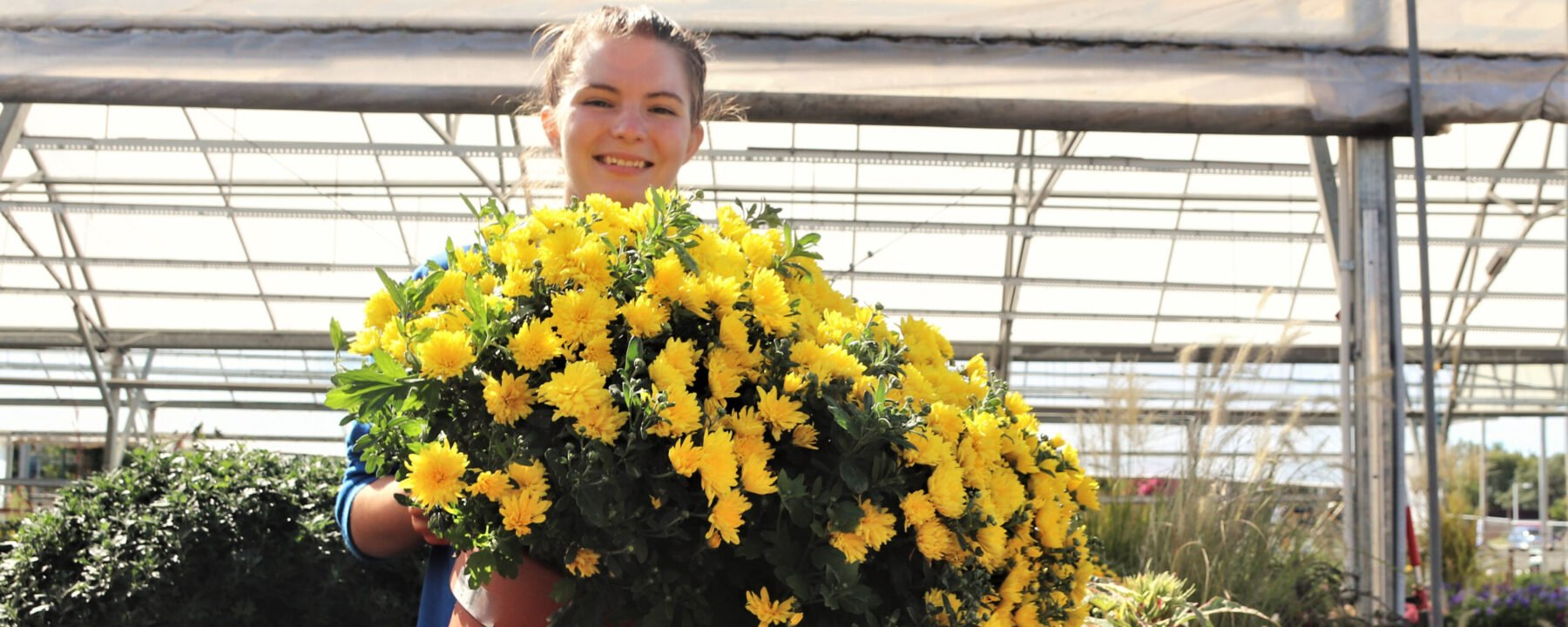 Mums are in bloom in Flowerland's greenhouse