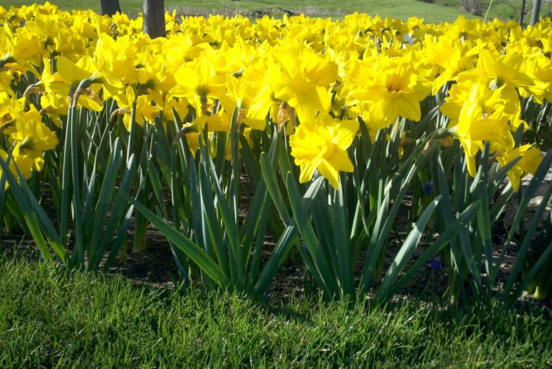 Now is the time to plant Spring Flowering Bulbs