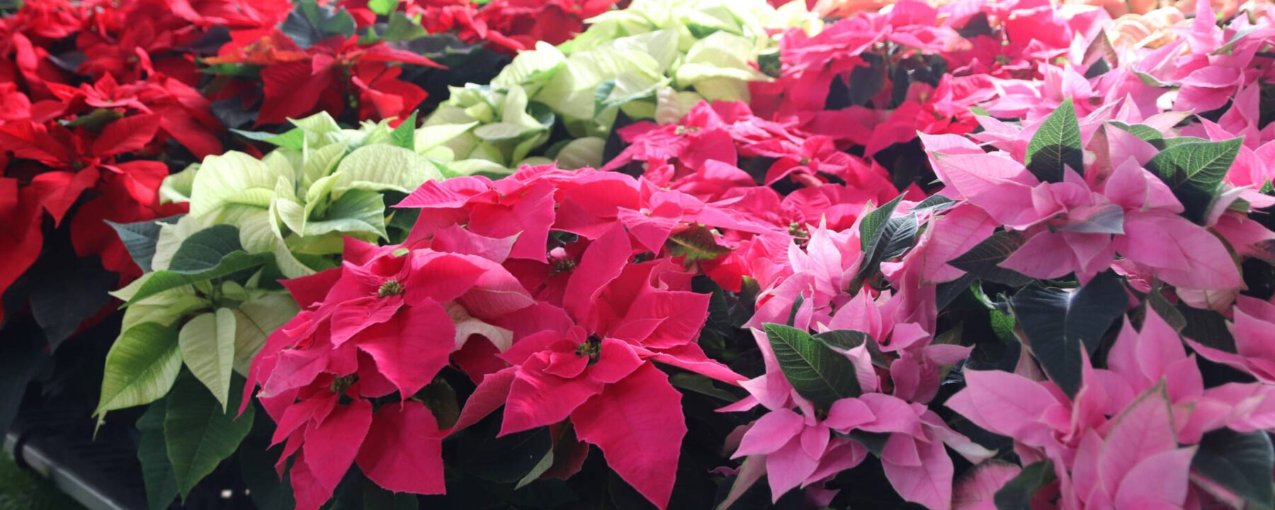 Party Poinsettias at Flowerland