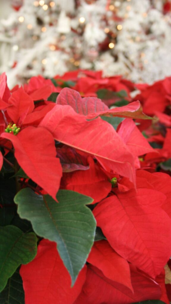 Poinsettias. One of the reasons Red is a color of the season