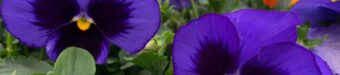 Beautiful Pansies at Flowerland