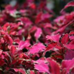 """Coleus """"Pink Chaos"""" Annual at Flowerland"""