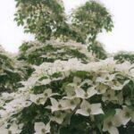 Dogwood Tree at Flowerland