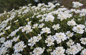 Iberis (Candytuft) at Flowerland