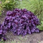 """Heuchera """"Wildberry"""" from Proven Winners at Flowerland"""