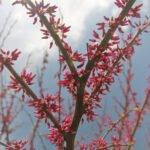 Redbud Tree budding at Flowerland