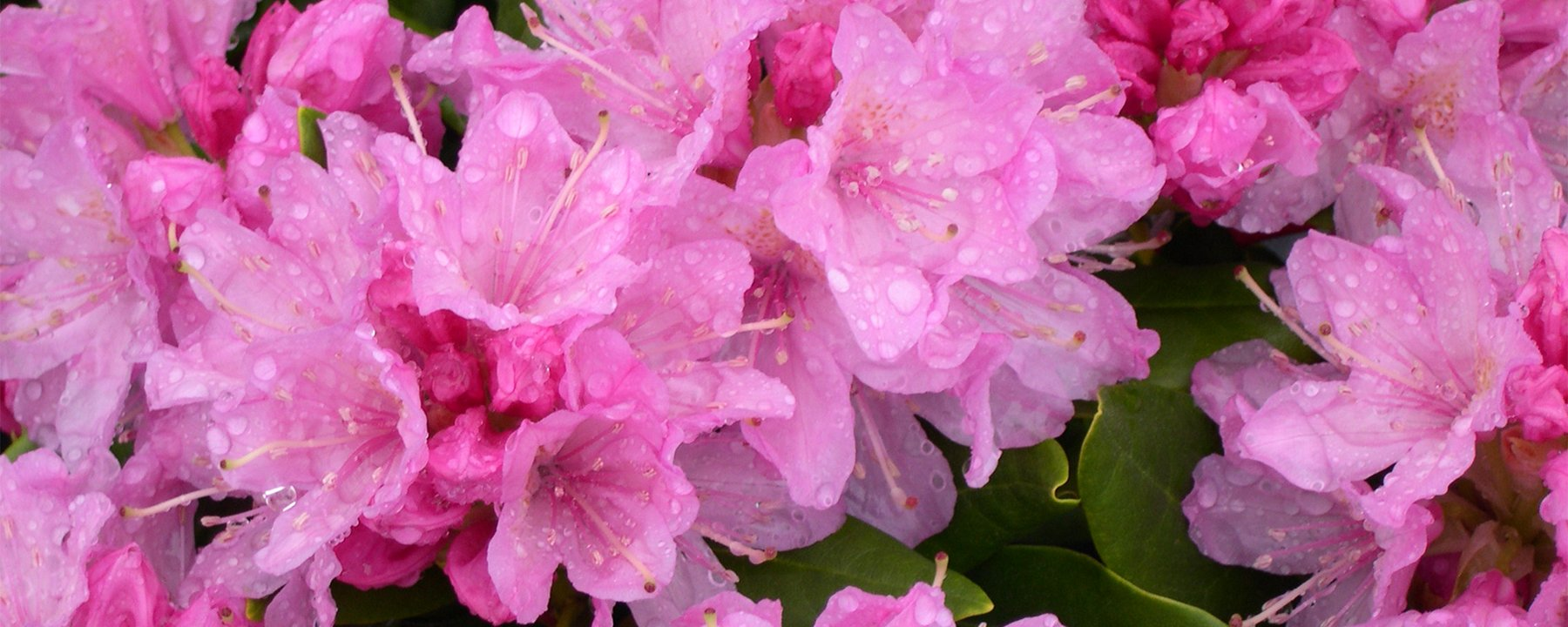 Spring Flowering Rhododendrons at Flowerland
