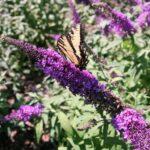 Buddleia Butterfly Bush at Flowerland