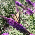 Buddleia Butterfly Bush Shrub at Flowerland