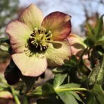 Hellebores in bloom at Flowerland