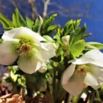 Hellebore Perennial at Flowerland