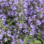 Nepeta Perennial Cat's Meow at Flowerland