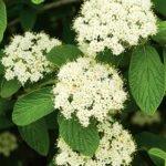 Viburnum Shrub at Flowerland