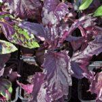 Basil, Purple Rufles Flowerland