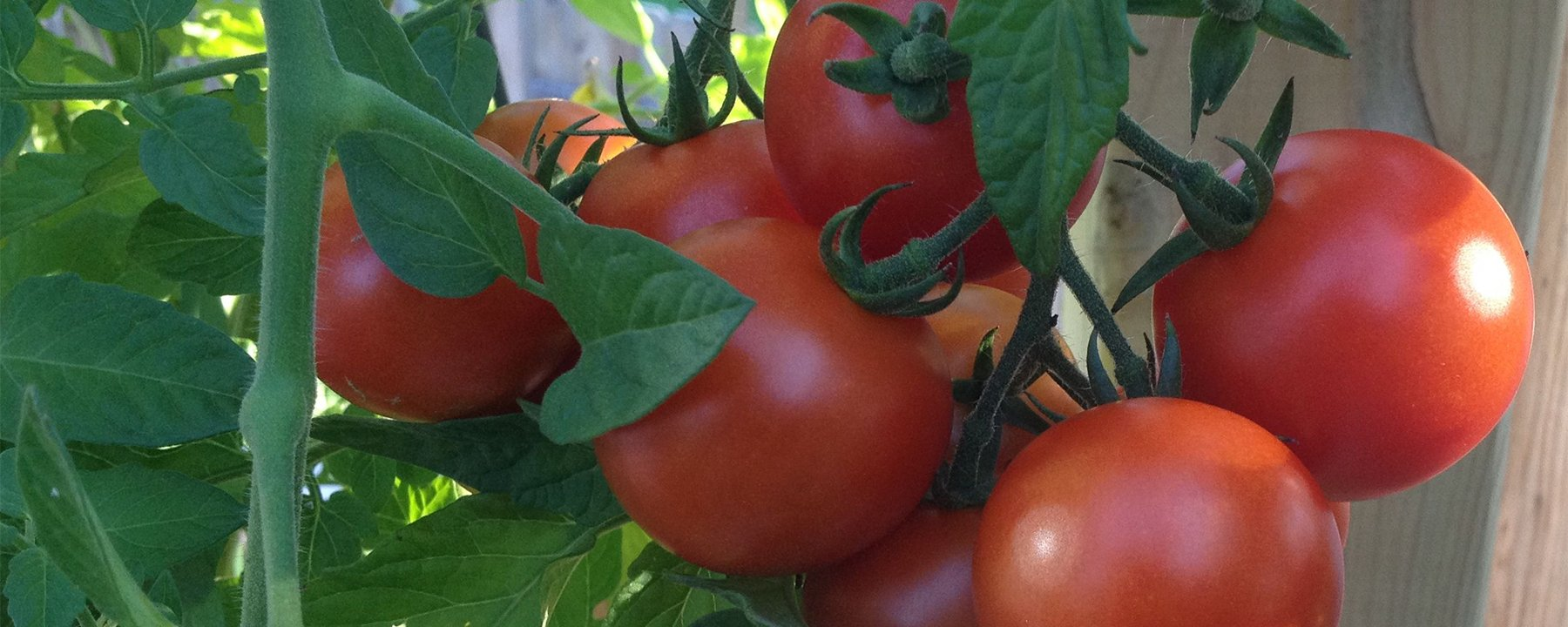 Plant your own tomatoes from Flowerland