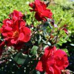 Landscape Roses at Flowerland