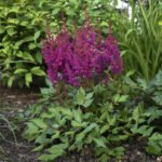 astilbe_chinensis_vision_in_red Proven Winners PW