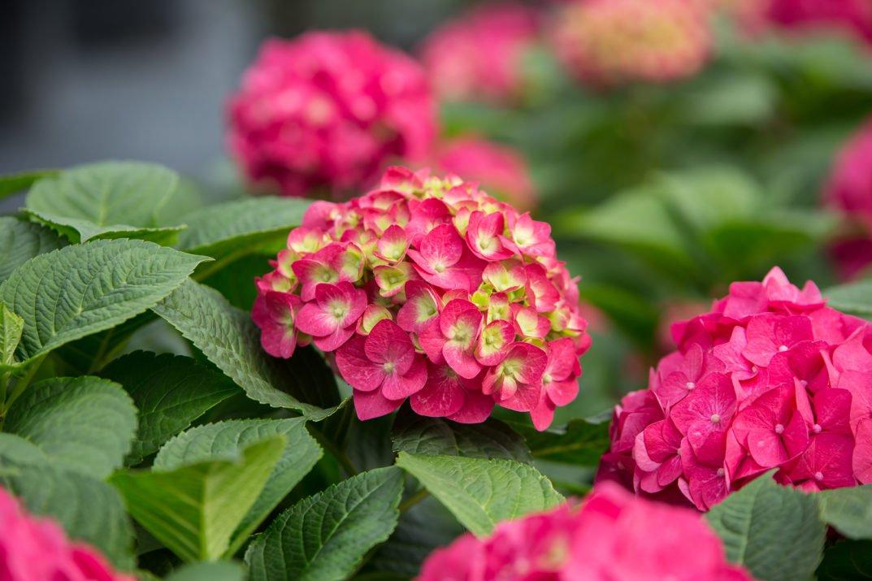 endless summer summer crush hydrangea Flowerland