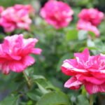 Landscape Roses available at Flowerland