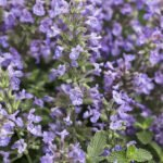 Nepeta in the Landscape Flowerland