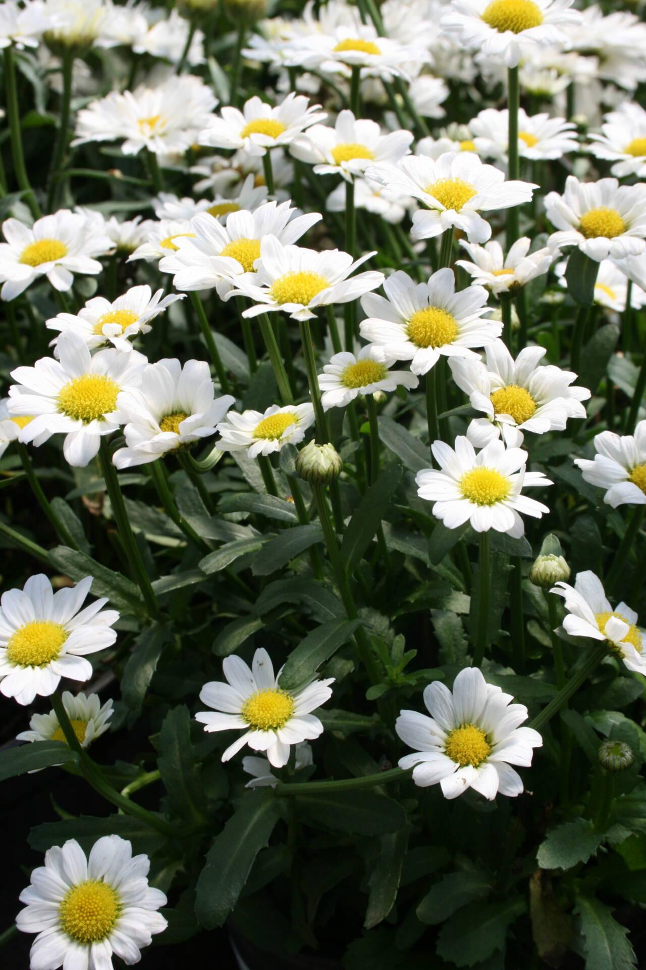 Perennial Shasta Daisy at Flowerland