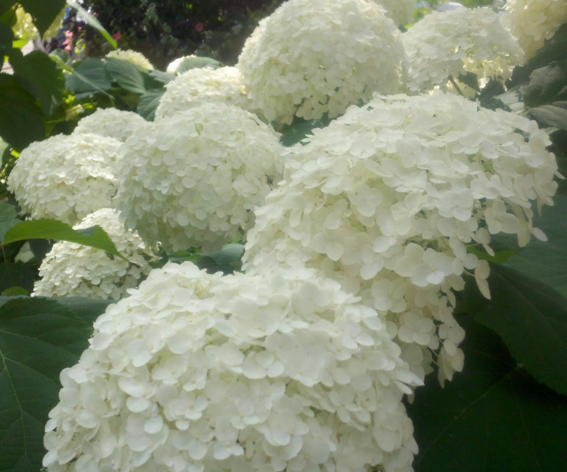 Hydrangeas on sale at Flowerland