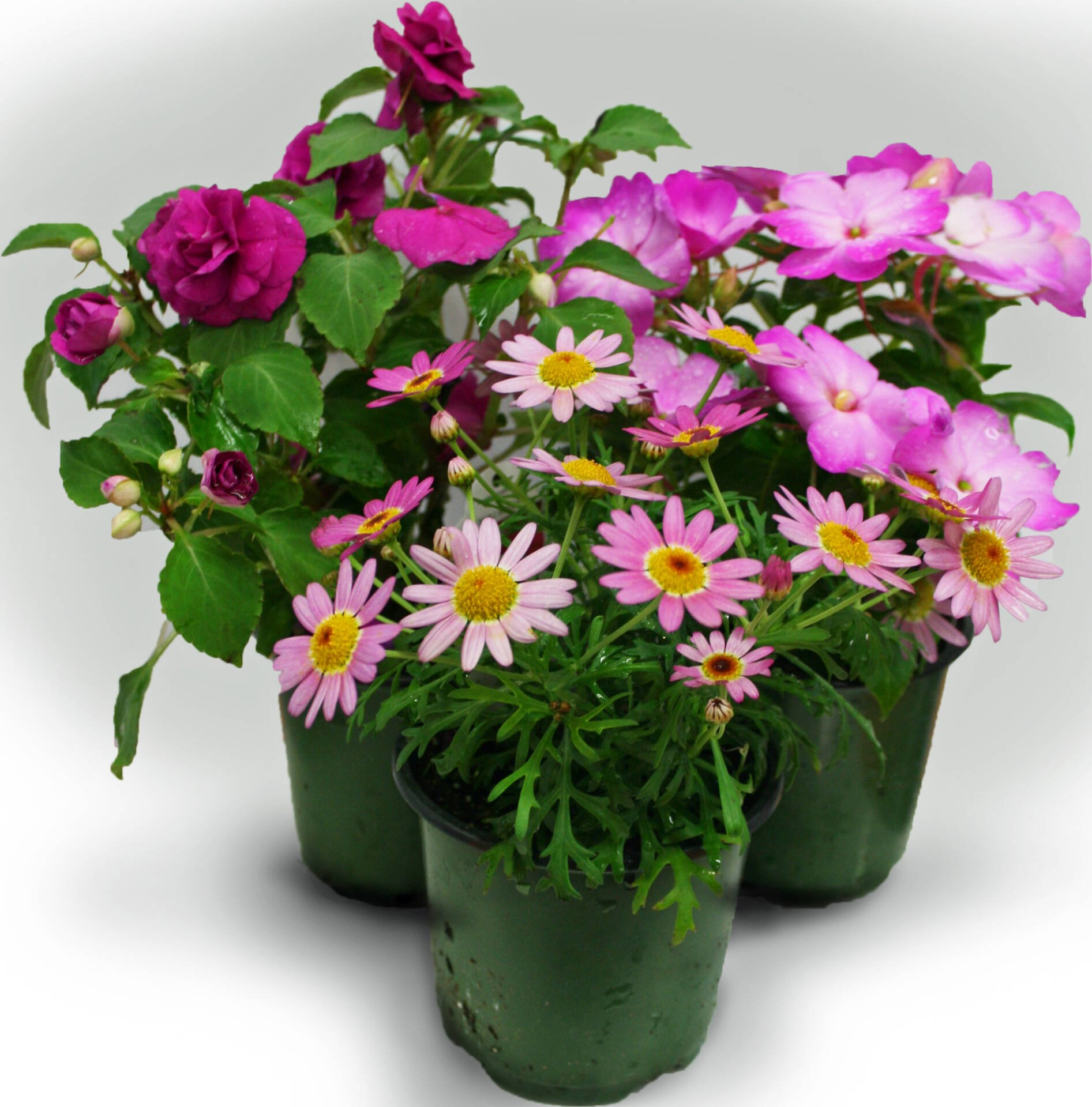 4.5 inch potted annuals at Flowerland