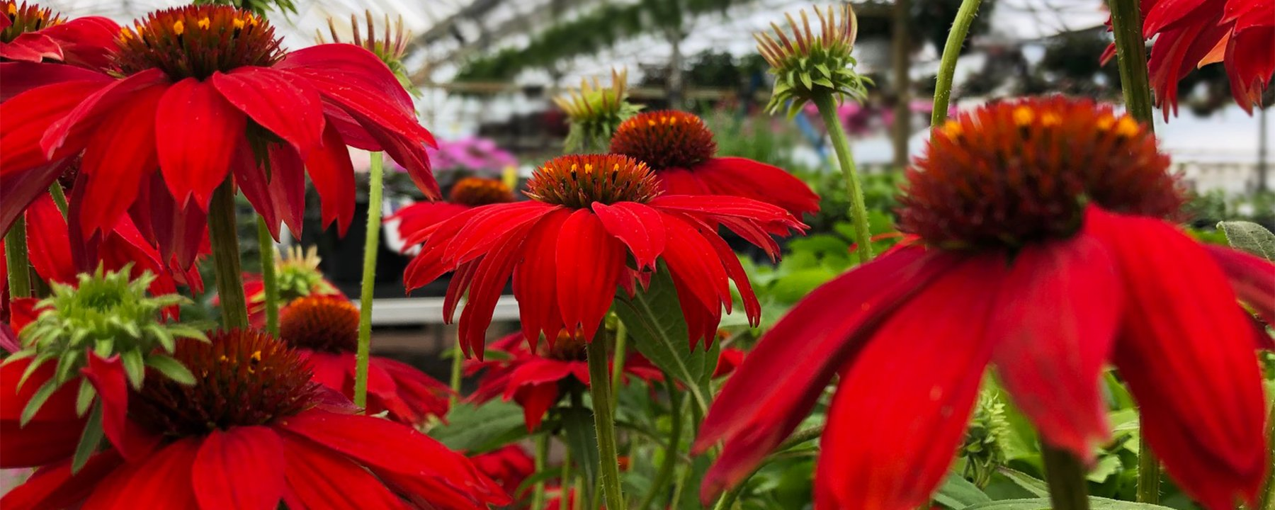 sombrero echinacea in the greenhouse at Kentwood Flowerland