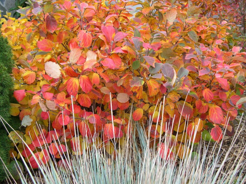 Fothergilla and Ornamental Grass in the Fall