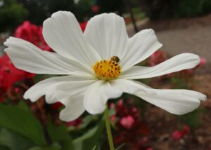 Cosmos in bloom on a cloudy day