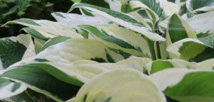 White variegation in Hosta foliage