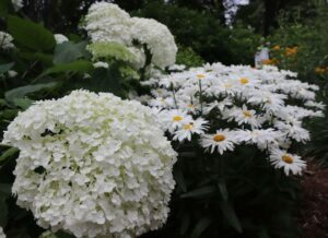 """Arborescens or """"Smooth"""" Hydrangeas  with daisies"""