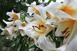 Asiatic Lilies make a splash!