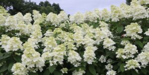 Panicle Hydrangeas are easy to grow and gorgeous in summer!