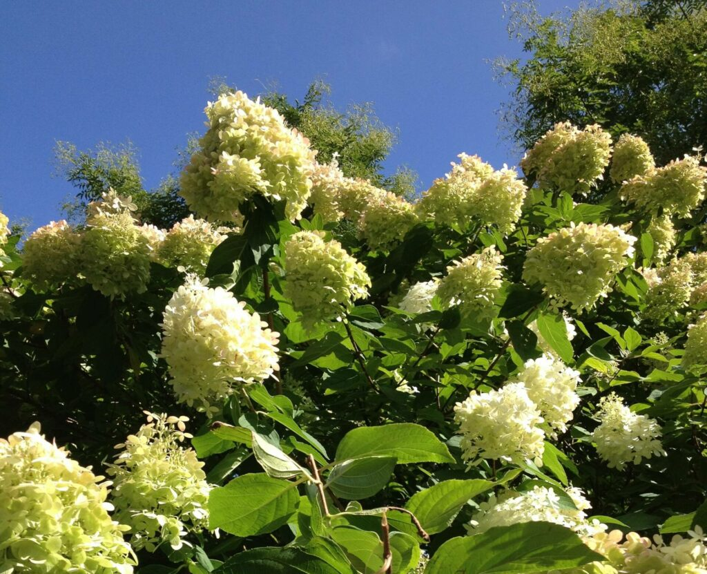 Panicle Hydrangea at Flowerland
