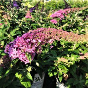 Pugster Butterfly Bush