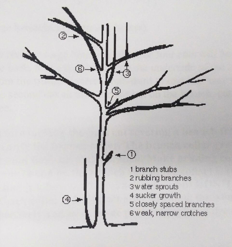 pruning tips figure 1