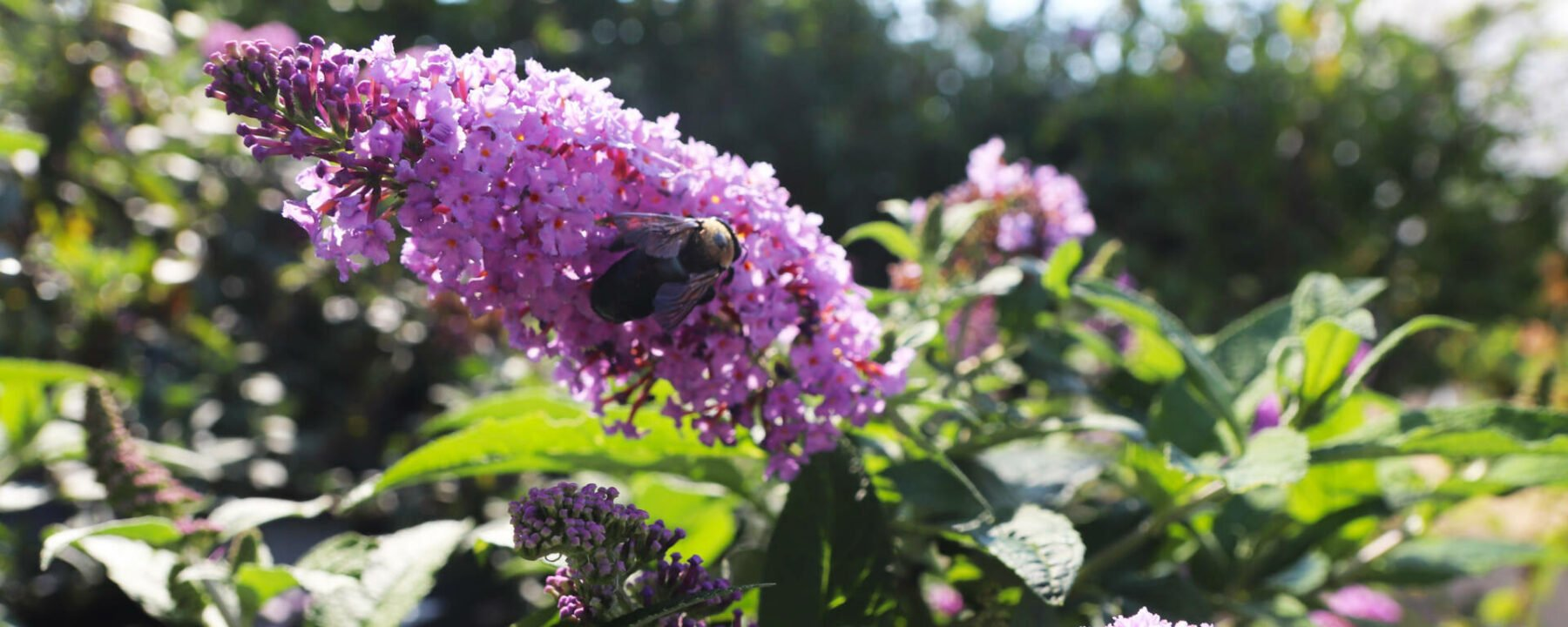 Bees and Butterflies active in the landscape 08272021