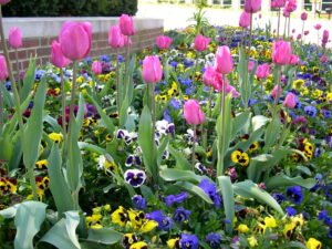 Tulips growing and blooming through fall planted pansies