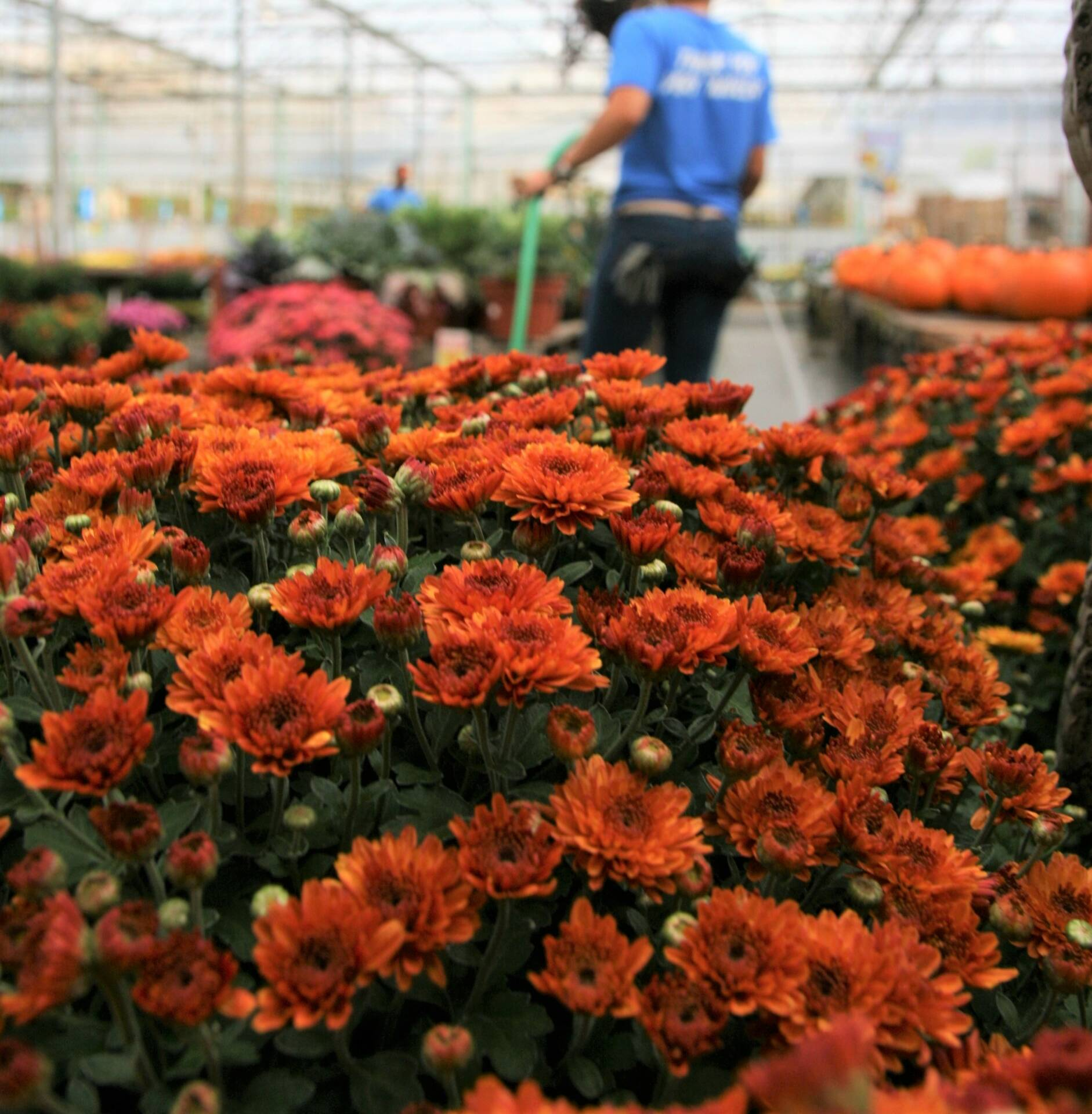 Mums and Pansies have arrived at Flowerland