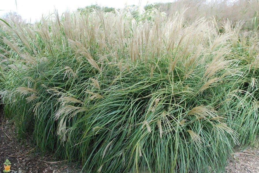 Shop Ornamental Grasses at Flowerland